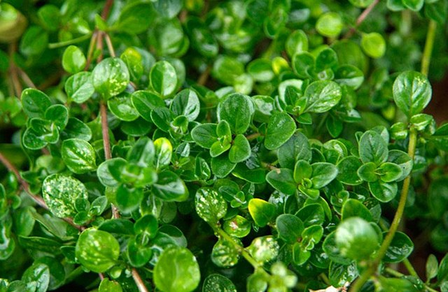 Use Thyme for Beauty, beauty benefits of thyme